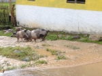 It rained every day, and our street turned into a stream. Pigs, cows, goats, and chickens are a common sight all over town.